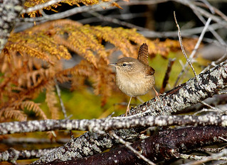 Wren 2 | by Chris Sharratt