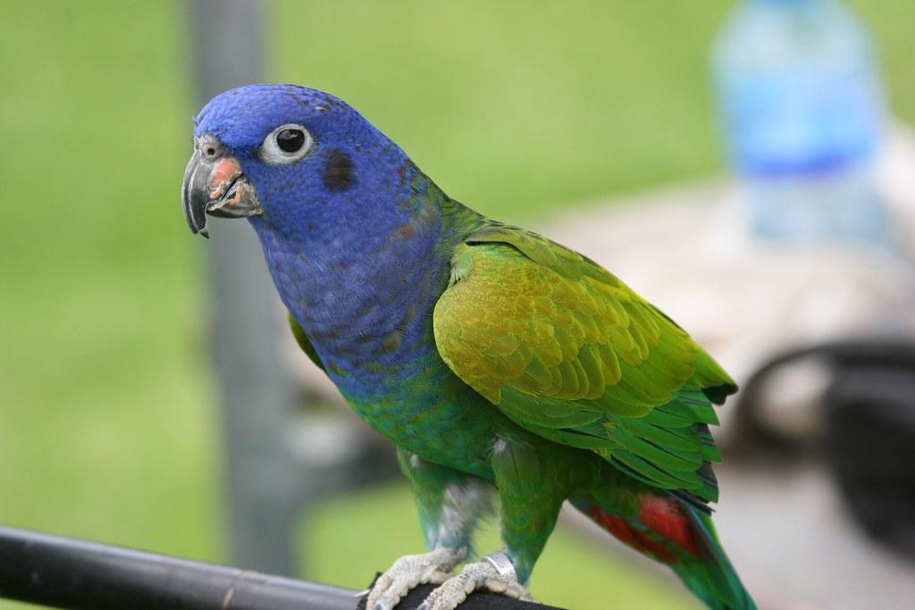Parrot Parrot  Guide to Parrots Lovebirds Budgies Senegal