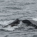 Humpback whale mother teaching her calf to feed on krill (5 of 5)