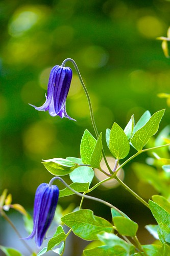 2012 Clematis #1 | by Yorkey&Rin