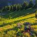 Wildflowers at Sunset, Lakeview Ridge, Pasayten Wilderness