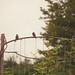 HFF - Three little birds edition