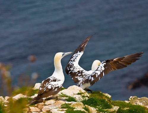 Young Gannets @ Bempton cliffs Yorkshire Learning to fly | by Frank Yule Photography