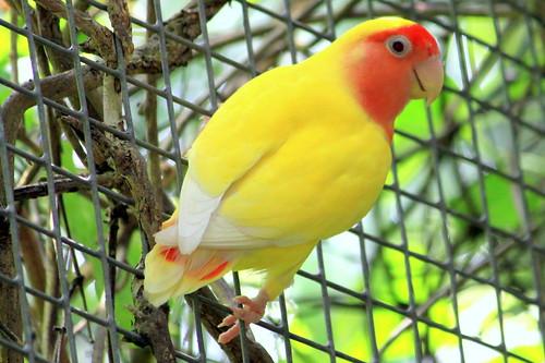 Lutino Rosy-faced Lovebird | The Rosy-faced Lovebird is ...
