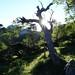 Shiomidake and tree