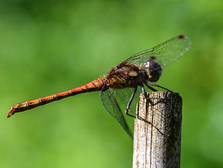Dragonfly In My Garden [Explored] 20/8/12 #270 | by 1001 Rabbits