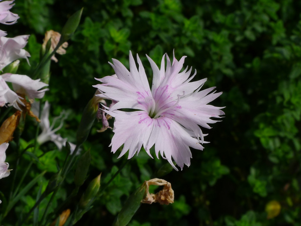 20120810 Dianthus plumarius | chipmunk_1 | Flickr