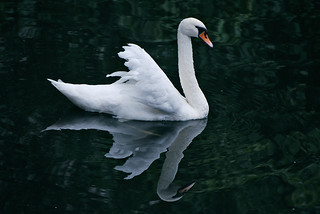 Graceful Swan Reflecting on one of Bruges Canals | by Jeff Rose Photography