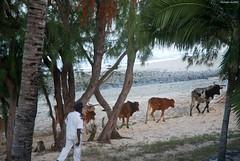 Rodrigues : des bovins sur la plage