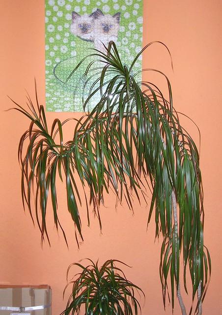 Dracaena Marginata Plant  Houseplant 411