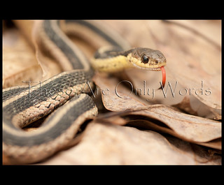Garter Snake | by these are only words