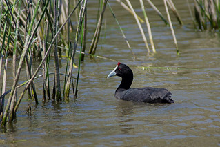 Crested coot #3(Fulica cristata) | by Jan Thomas Landgren