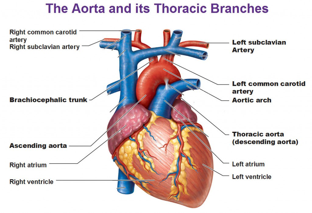 aorta-and-its-thoracic-branches-descending-aorta-brachioce… | Flickr