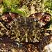 Caranguejo // Marbled Rock Crab (Pachygrapsus marmoratus)