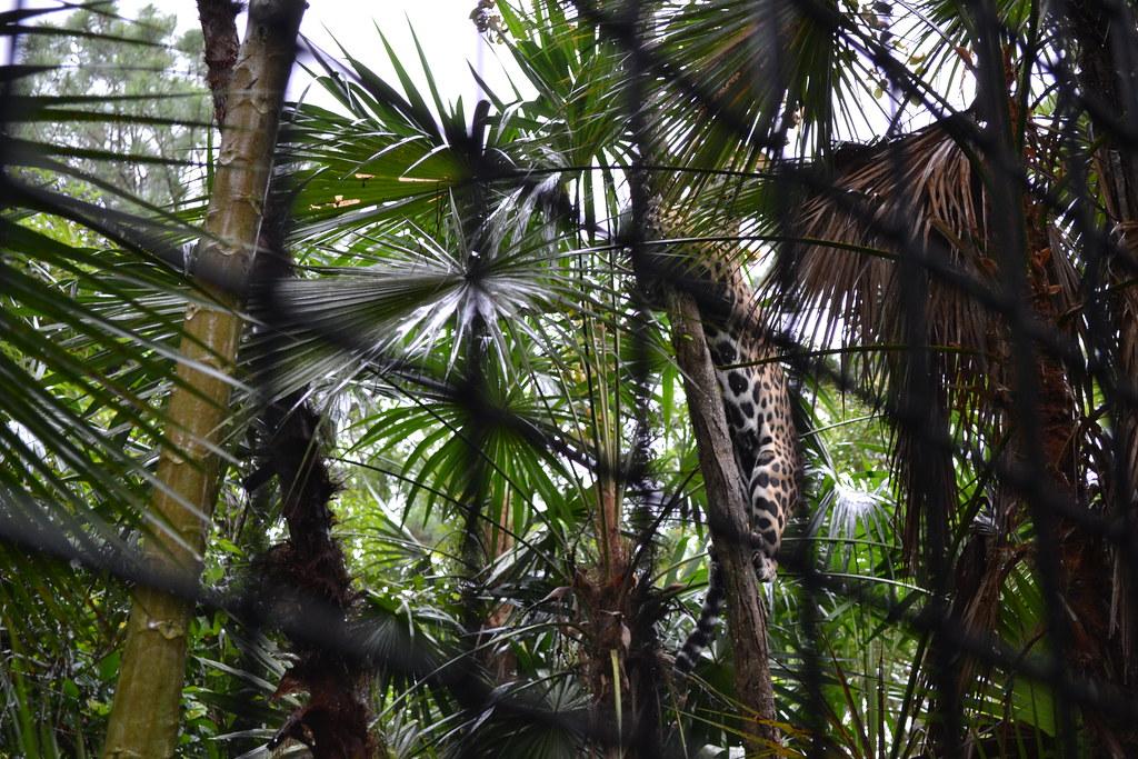 Jaguar Climbing Jaguar Climbing Tree Flickr