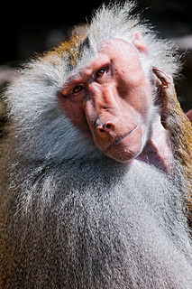 Male baboon with tilted head | by Tambako the Jaguar