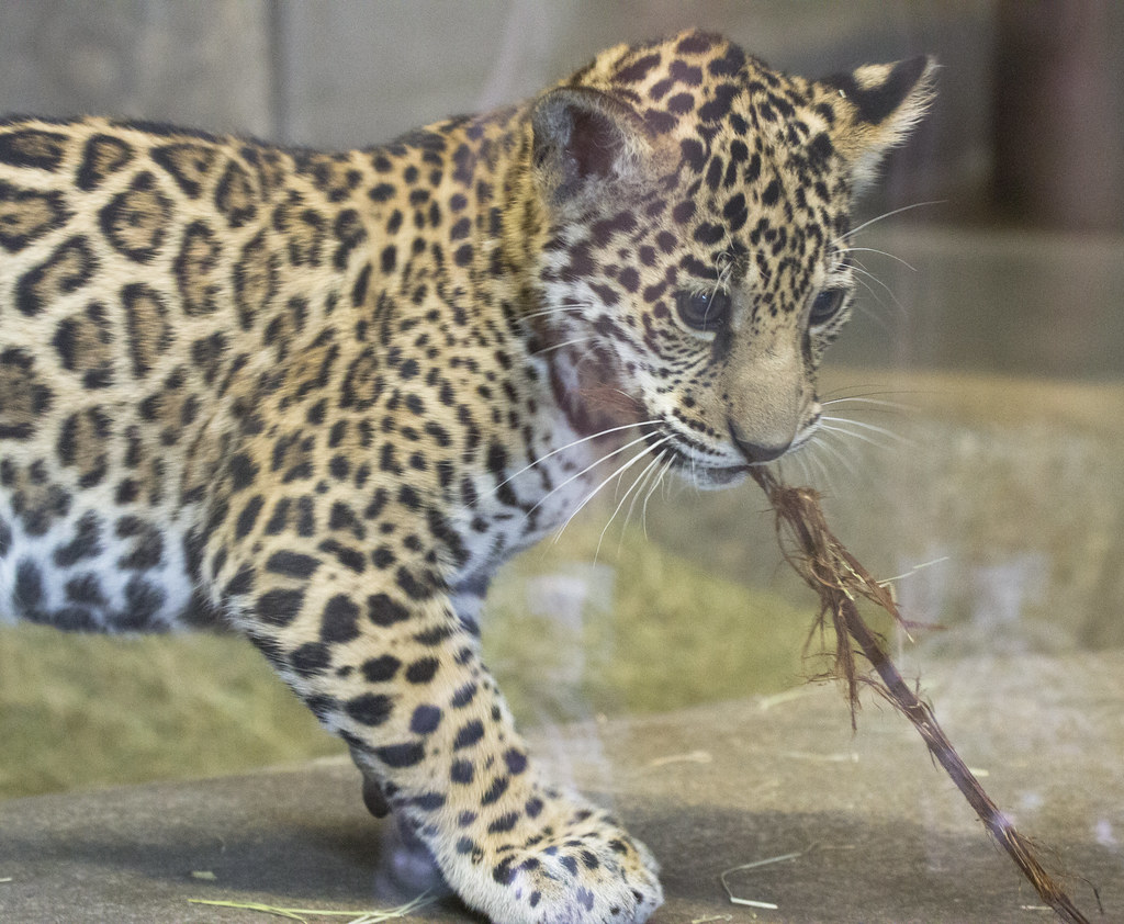 Baby Jaguar At The San Diego Zoo Pulling A String
