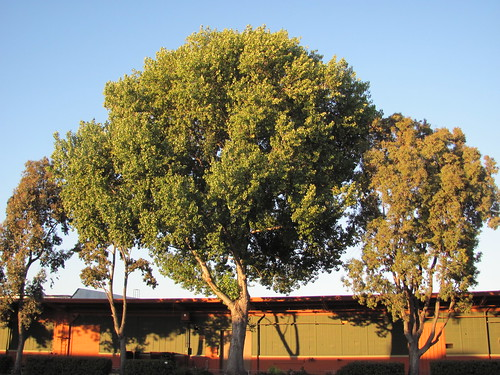 July 20-2012 Trees & Shadows, San Leandro,CA,USA 003 | by lonewolfpics