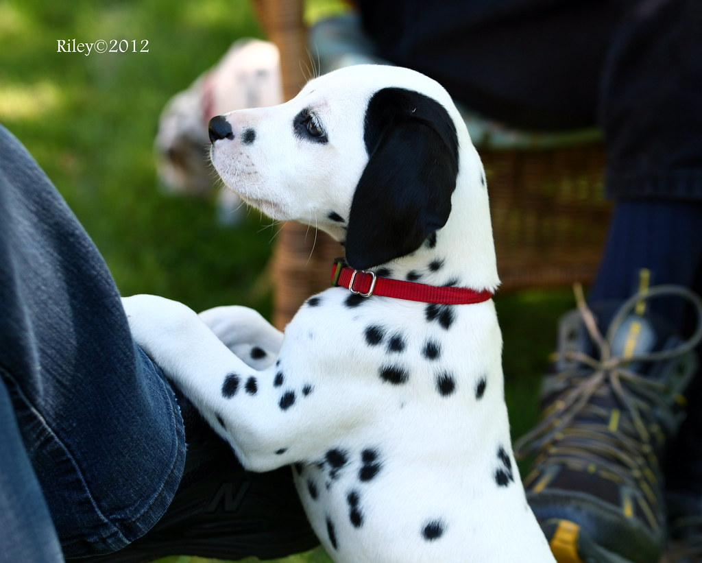 Black Spots In Dogs Ear