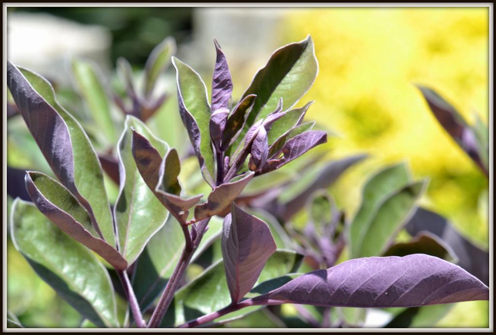 Dsc 0058 Arabian Lilac At Rogers Gardens Quot Vitex