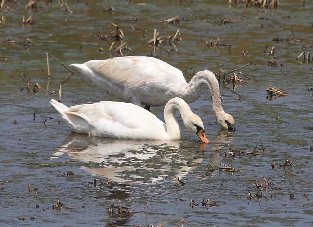 Trumpeter Swan ...