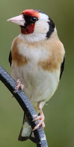 Goldfinch close up | by GemElle Photography - off & on sorry