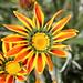 Red & Orange flower