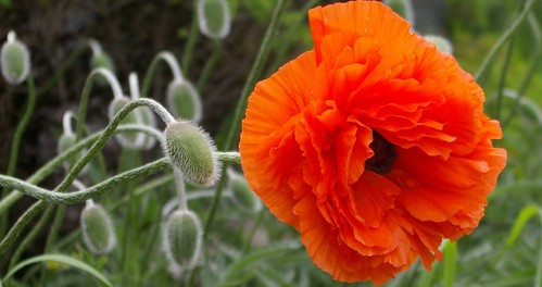 poppies | by Samantha Forsberg