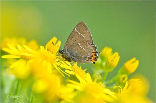 White - Letter Hairstreak | by davolly59