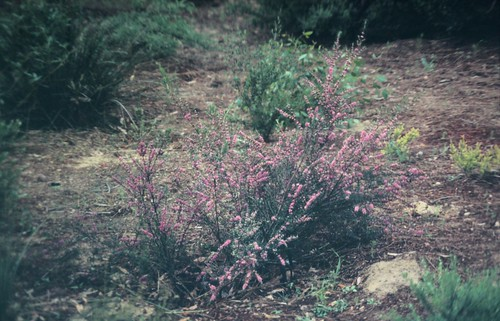 Hypocalymma robustum (Swan River Myrtle) - cultivated | by Arthur Chapman