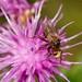 UnID conopid fly