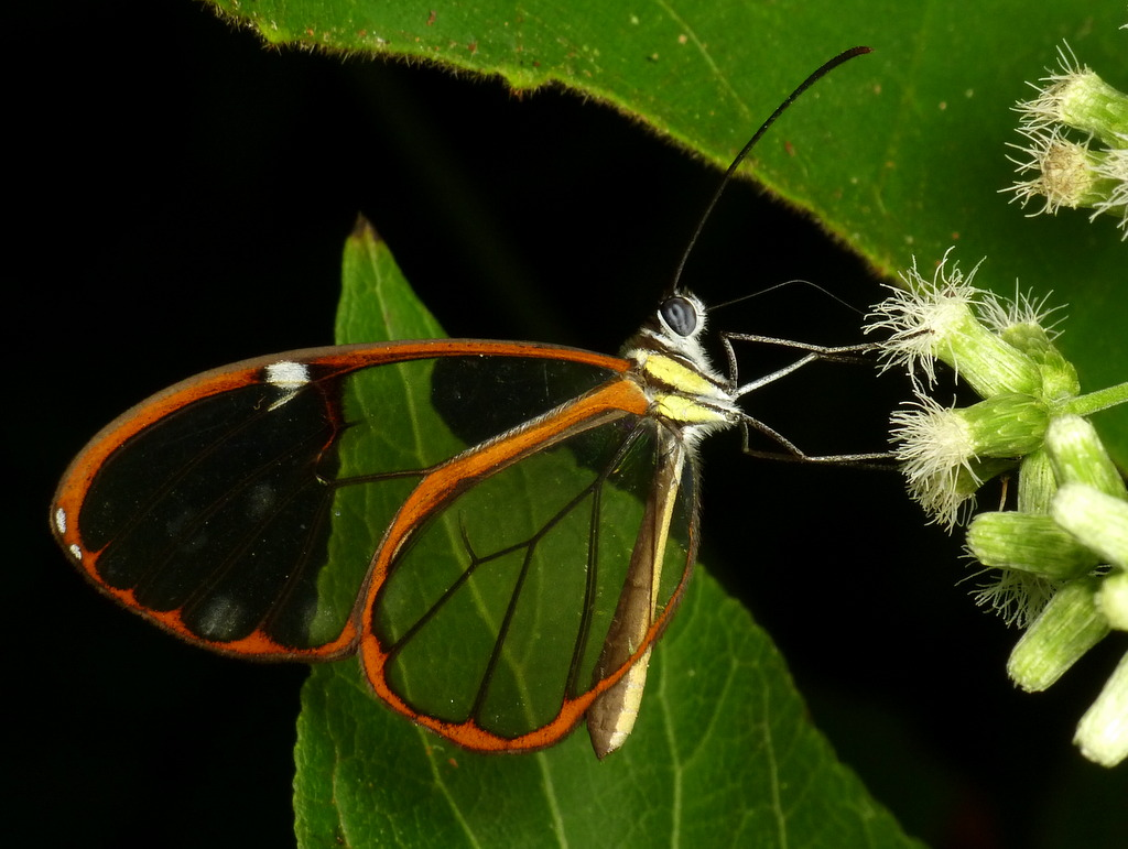 Clearwing butterfly, Danainae, Nymphalidae | Andreas Kay | Flickr