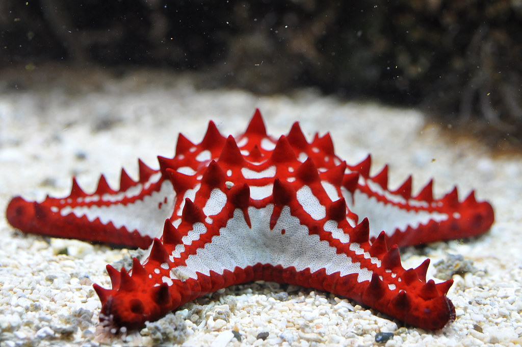 Red Knobbed Starfish Rode Stekelster Protoreaster