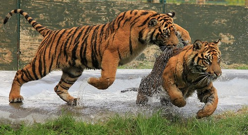 Tiger Cubs Water Play (Explore) | by TenPinPhil