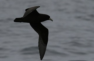 Whitechinned petrel pelagic birding with Nature Expeditions | by stefanaustermuhle