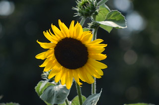 Sunflower | by Brooklyn Botanic Garden
