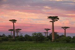 Majestic sunset among baobabs by s_andreja