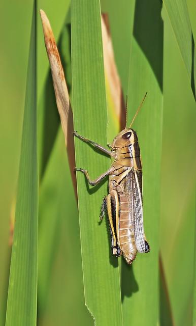 Grasshopper-7-7D2-250716