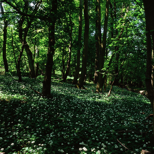 An abundant carpet of wild garlic | by IanAWood