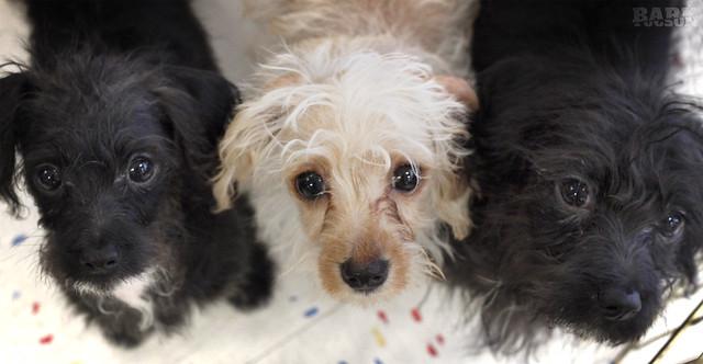 Dachshund Poodle Mix Chihuahua/poodle/dachshund
