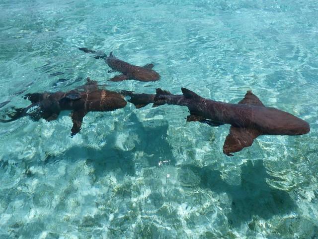 Tiburones gato en Belice