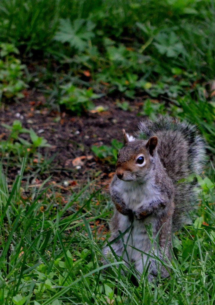 peas sir kan i hav a nutz gray squirrel dustin holmes flickr