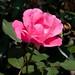 Rosa 'Radcon' LG 2009-0339 D 8-16-12 2623 lo-res