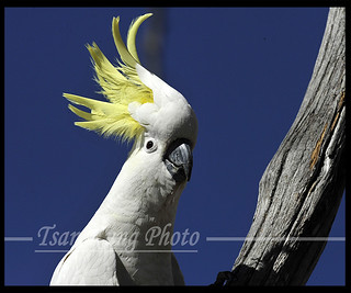 Sulphur-crested Cockatoo(9) | by tsankung2009