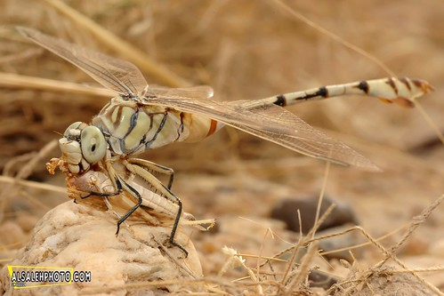 HUNGRY DRAGONFLY. | by MOHAMMED AL-SALEH