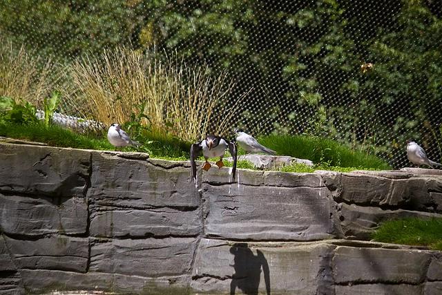 Atlantic Puffins / Papageitaucher
