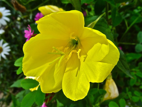 Evening Primrose ..(195/366) | by Irene's Daily Pics is now a Page on Facebook