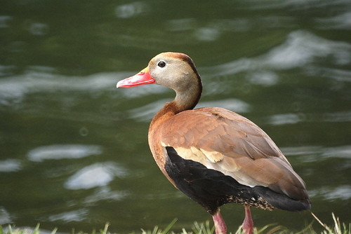 Black-bellied Whistling-Duck | by helmutnc