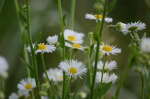 Wild Daisies | by Joe Shlabotnik