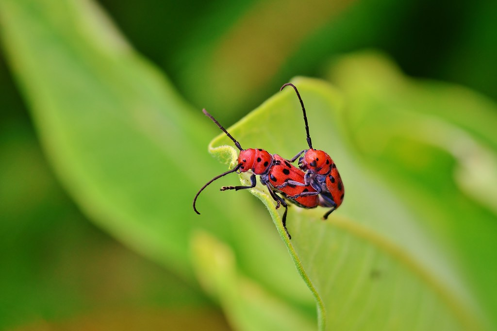 Nikon D5100 Non Stacked Macro Photography Two Love Bugs